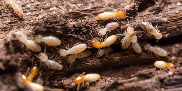 Termite Businesses